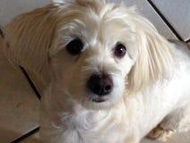 Pequeño perro de Sella Bella fotos de archivo