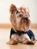 Pequeño perro de Yorkshire Terrier Foto de archivo libre de regalías