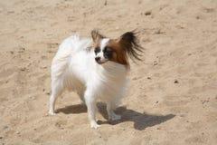 Pequeño perro decorativo fotos de archivo