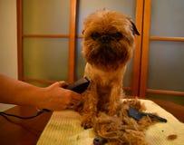 Pequeño perro decorativo durante la preparación imagenes de archivo