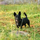 Pequeño perro del balck foto de archivo libre de regalías