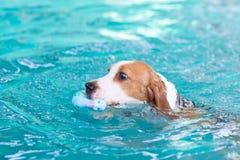 Pequeño perro del beagle que juega el juguete en la piscina Imágenes de archivo libres de regalías