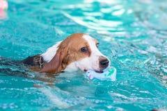 Pequeño perro del beagle que juega el juguete en la piscina Fotos de archivo libres de regalías