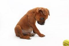 Pequeño perro del boxeador de Brown con la bola verde imagen de archivo