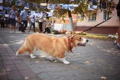 Pequeño perro del Corgi imagen de archivo