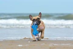 Pequeño perro del dogo francés del cervatillo que lleva el juguete azul grande en bozal mientras que juega búsqueda en la playa d imagen de archivo