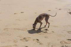 Pequeño perro del galgo italiano en la playa Foto de archivo