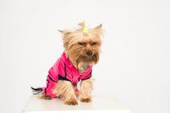 Pequeño perro descontentado en ropa rosada Fotos de archivo libres de regalías