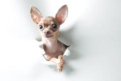 Pequeño perro divertido con los ojos y los oídos grandes Foto de archivo