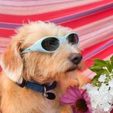 Pequeño perro divertido el vacaciones en hamaca foto de archivo libre de regalías