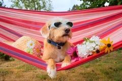 Pequeño perro divertido el vacaciones en hamaca foto de archivo