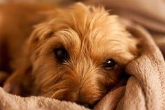 Pequeño perro en el sofá imagenes de archivo