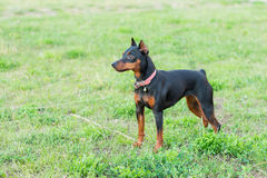 Pequeño perro en hierba verde Fotos de archivo libres de regalías