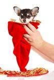 Pequeño perro en las manos aisladas en el fondo blanco Foto de archivo libre de regalías