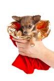 Pequeño perro en las manos aisladas en el fondo blanco Foto de archivo
