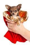 Pequeño perro en las manos en el fondo blanco Foto de archivo