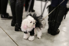 Pequeño perro en un correo para un paseo con la señora Fotografía de archivo libre de regalías