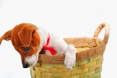 Pequeño perro en una cesta Imagen de archivo libre de regalías