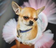Pequeño perro en vestido de boda con los anillos Foto de archivo libre de regalías