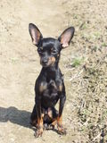 Pequeño perro Ernik Fotos de archivo libres de regalías
