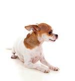 Pequeño perro hermoso Foto de archivo libre de regalías
