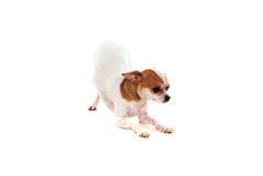 Pequeño perro hermoso Fotos de archivo