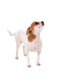Pequeño perro hermoso Imagenes de archivo