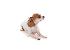Pequeño perro hermoso Fotografía de archivo libre de regalías