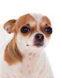Pequeño perro hermoso Imagen de archivo libre de regalías