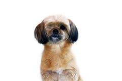 Pequeño perro lindo Fotos de archivo