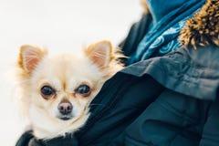 Pequeño perro lindo de la chihuahua en brazos El perrito joven lindo, ojos grandes, sea imágenes de archivo libres de regalías