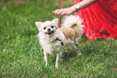 Pequeño perro lindo de la chihuahua en hierba verde Foto de archivo libre de regalías