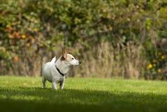Pequeño perro lindo del terrier de Russel del enchufe que goza del jardín imagenes de archivo
