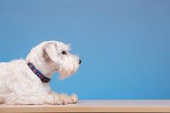 Pequeño perro lindo en la tabla Imágenes de archivo libres de regalías