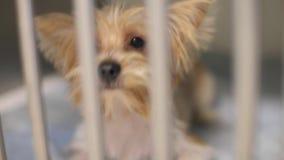 Pequeño perro lindo en una jaula, terrier almacen de video