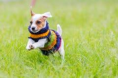 Pequeño perro lindo Jack Russell Terrier Running fotos de archivo