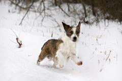 Pequeño perro lindo que juega en nieve Foto de archivo libre de regalías