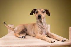 Pequeño perro lindo que miente en el escritorio de madera Foto de archivo libre de regalías