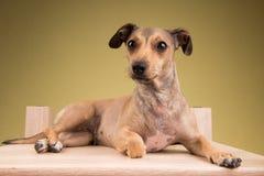 Pequeño perro lindo que se acuesta en el escritorio de madera Imagen de archivo libre de regalías