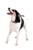 Pequeño perro lindo que se coloca con la boca abierta Fotografía de archivo libre de regalías