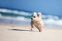 Pequeño perro lindo que se ejecuta en una playa blanca Imagenes de archivo
