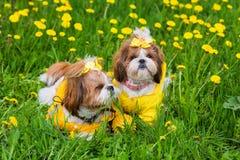 Pequeño perro lindo que se sienta entre las flores amarillas en guardapolvos amarillos con los arcos en hierba verde en el parque Fotos de archivo libres de regalías