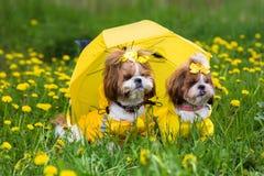Pequeño perro lindo que se sienta entre las flores amarillas en guardapolvos amarillos con los arcos en hierba verde en el parque Fotografía de archivo