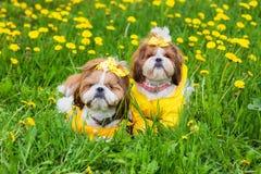 Pequeño perro lindo que se sienta entre las flores amarillas en guardapolvos amarillos con los arcos en hierba verde en el parque Fotos de archivo