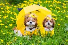 Pequeño perro lindo que se sienta entre las flores amarillas en guardapolvos amarillos con los arcos en hierba verde en el parque Imagenes de archivo