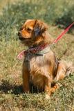 Pequeño perro marrón enojado que se sienta en el parque, lo criado mezclado del perro de aguas Fotografía de archivo libre de regalías