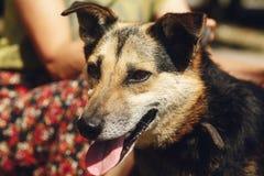 Pequeño perro marrón lindo del refugio con la lengua en la correa que presenta al ou Fotos de archivo
