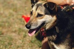 Pequeño perro marrón lindo del refugio con la lengua en la correa que presenta al ou Fotografía de archivo libre de regalías