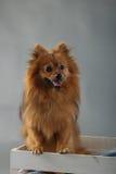 Pequeño perro marrón mullido lindo fotografía de archivo