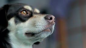Pequeño perro marrón que mira en un primer de la cámara y de la ventana almacen de video